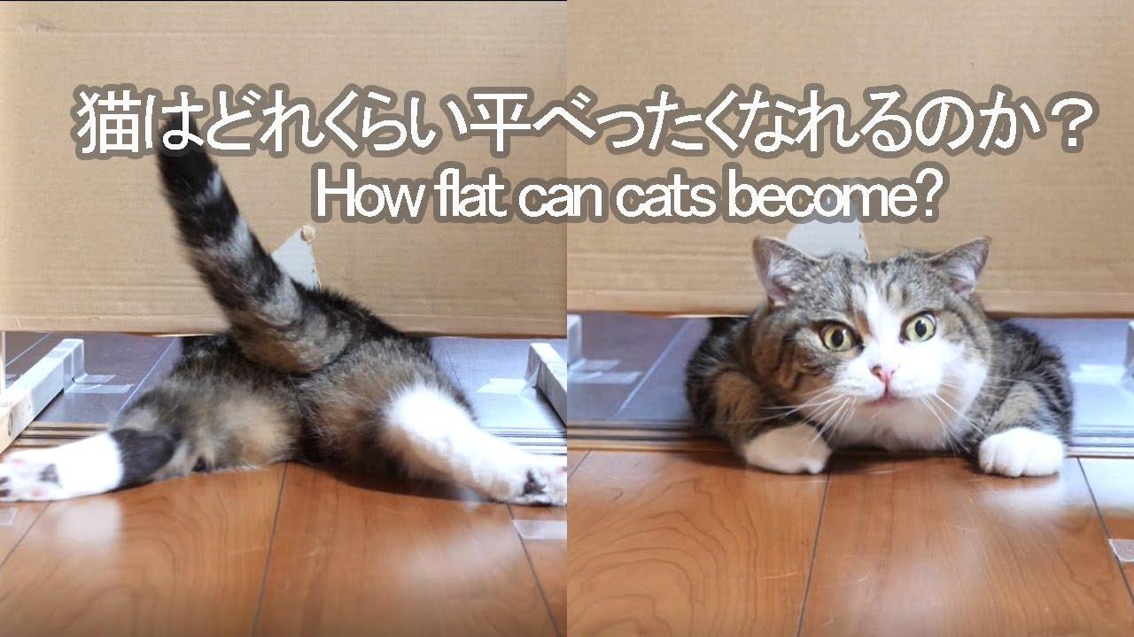 そこのあなた!猫ってどれほど「平べったく」なれると思う?