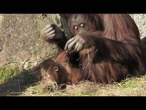 みんなで草刈り  Mowing time   オランウータン  多摩動物公園 – 長さ: 38:34。