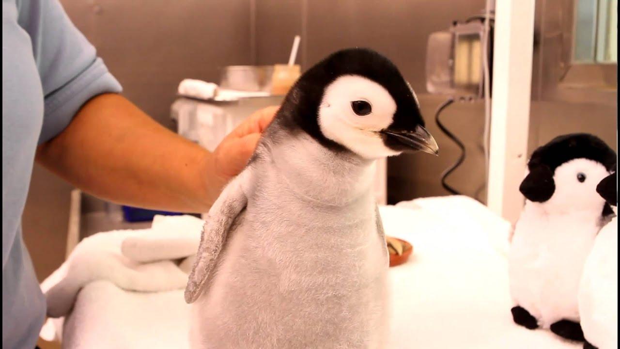 ヘドバンして大興奮!「ふわふわ赤ちゃんペンギン」の食事動画が海外掲示板で話題