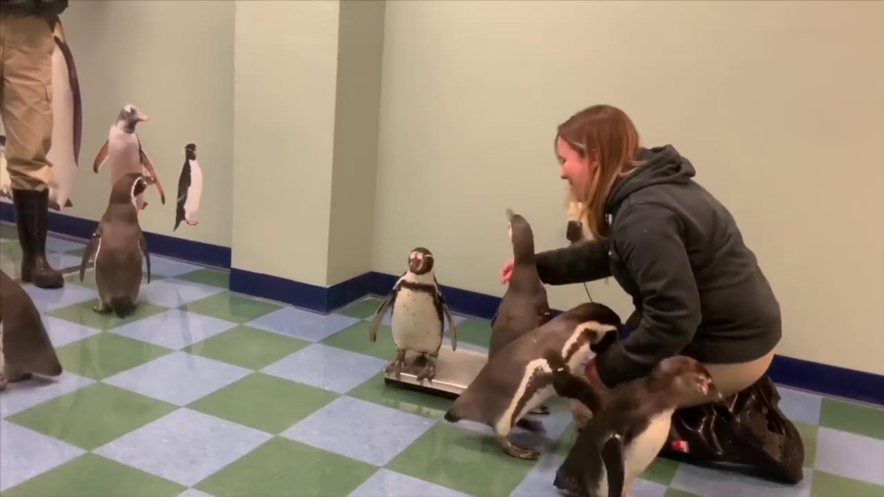 【YouTube47万再生】飼育員さんの顔もほころぶ「ペンギンの身体測定」が眼福すぎた